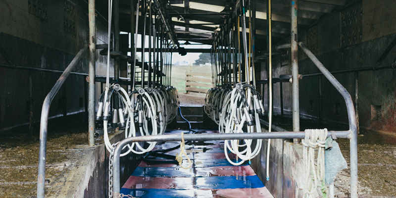 dairy-farmer-milking-bay
