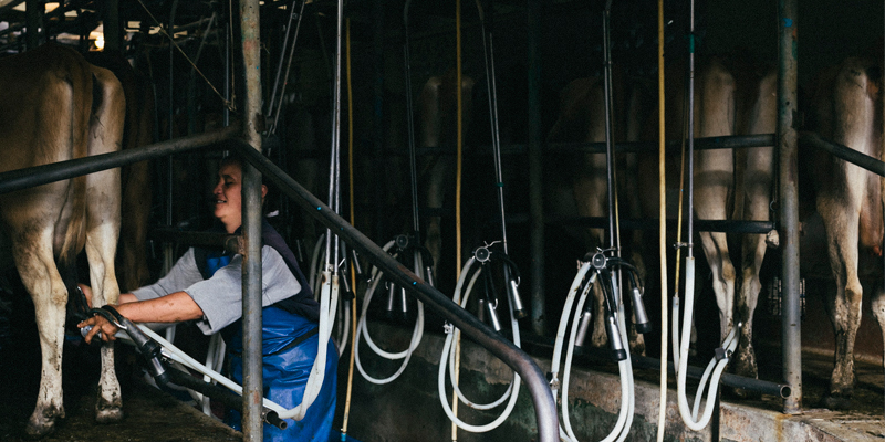 dairy-farmer-milking